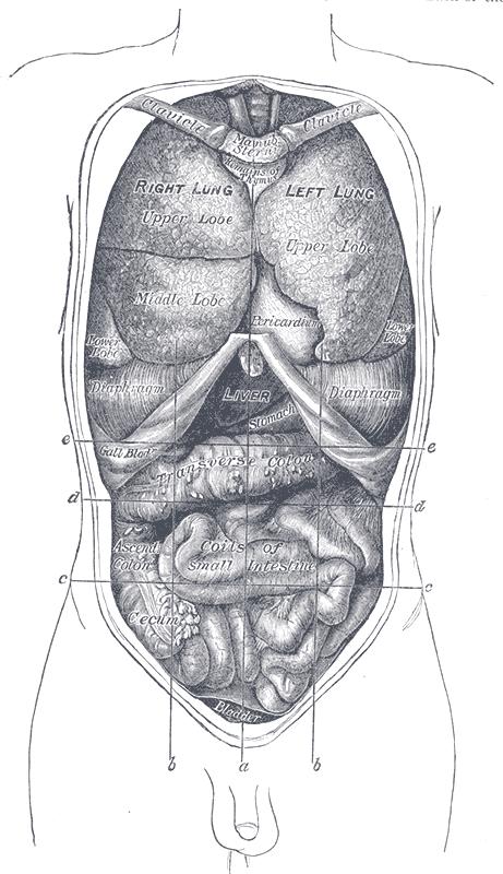 thoracic diaphragm