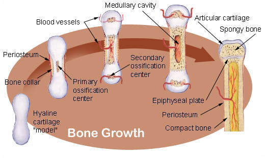 Illu bone growth.jpg