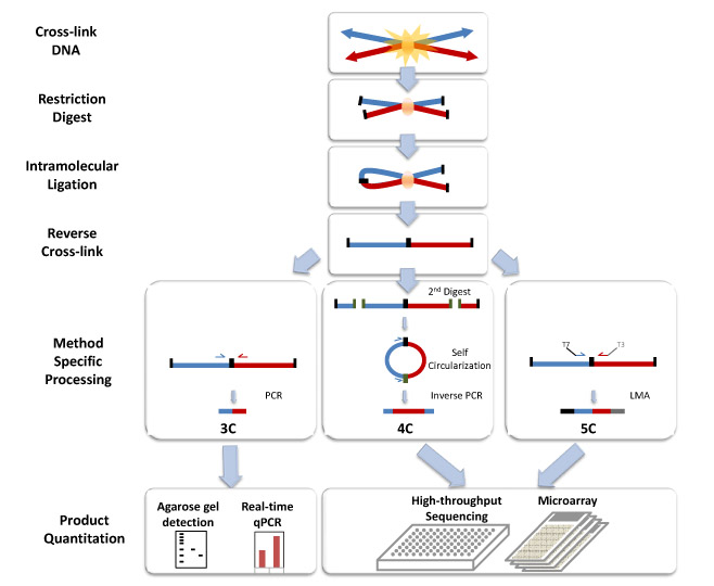 Chromosome Conformation Capture Technology.jpg