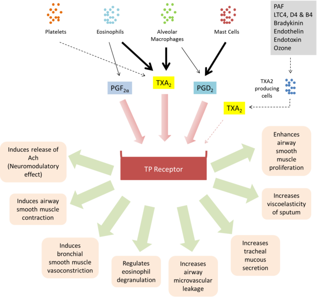 Biological activities of TP receptor.png