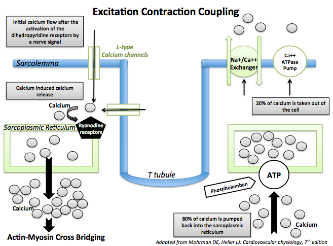 Excitation contraction coupling in the cardiac muscle cell