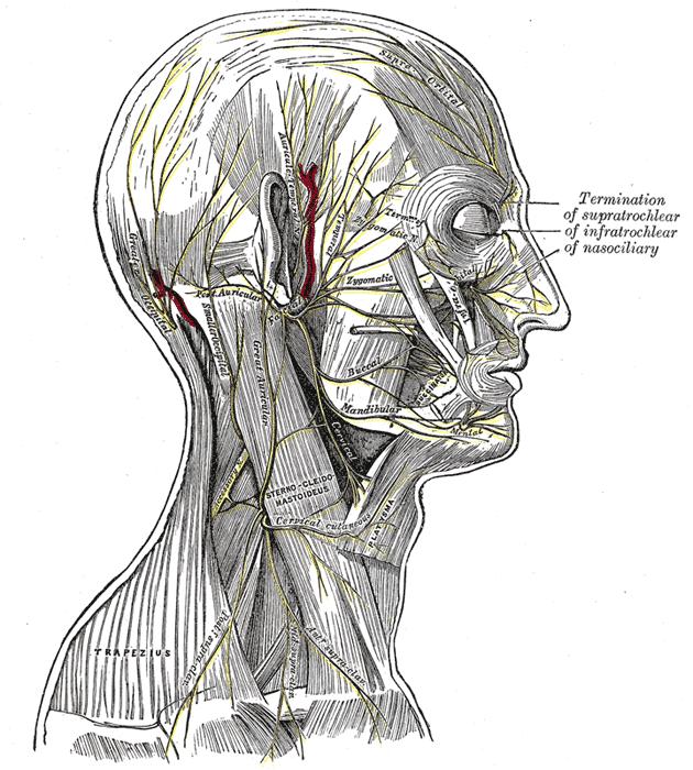 transverse cervical nerve