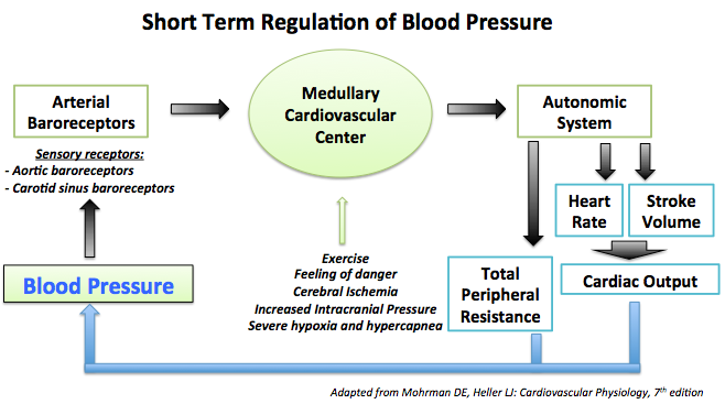 Short term regulation of blood pressure mainly involves the arterial barorecptor control