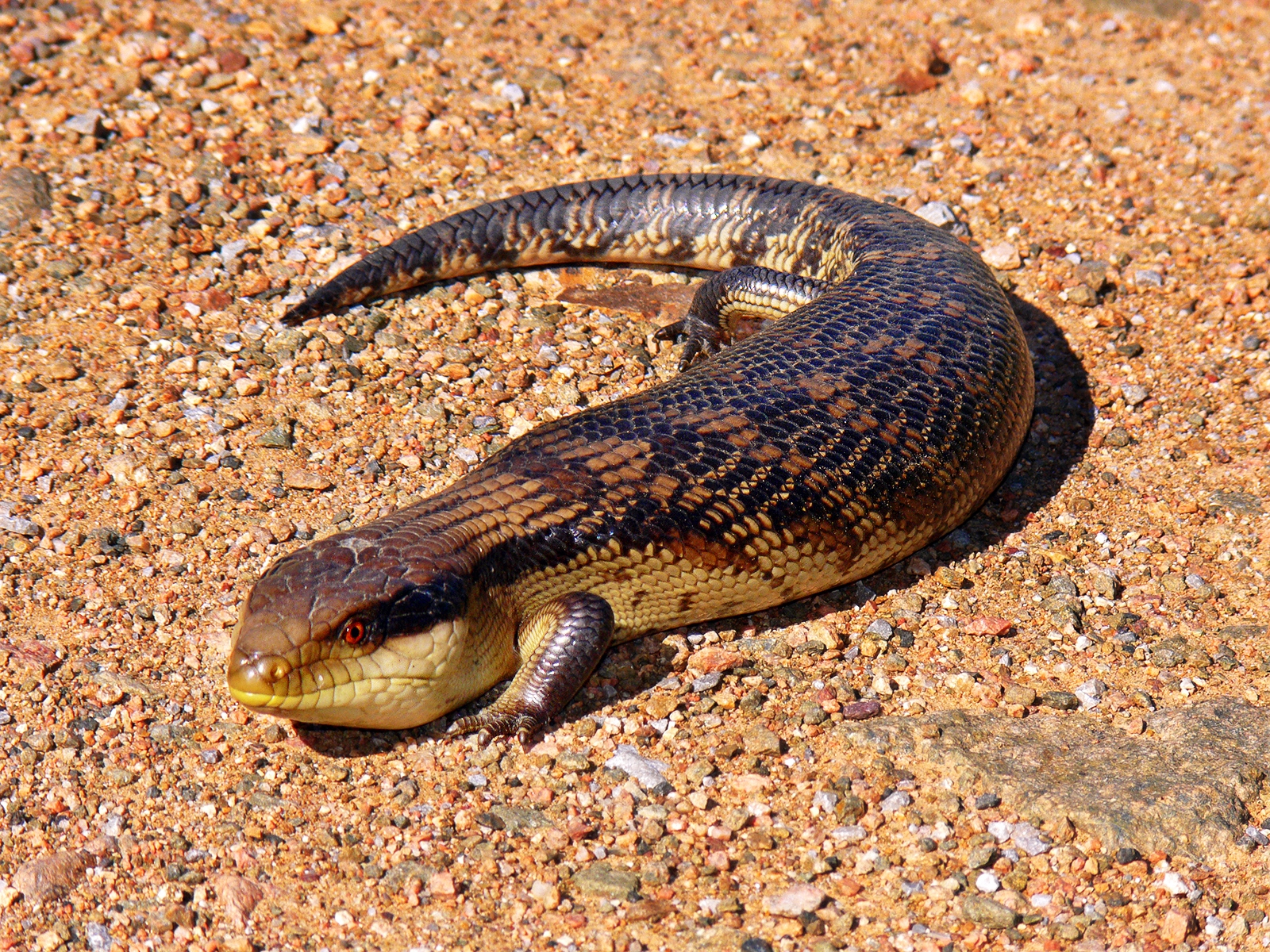 Blotched Blue-tongued Lizard, Tiliqua nigrolutea