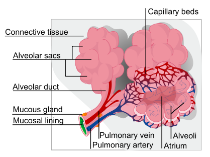 Alveolus diagram svg.png