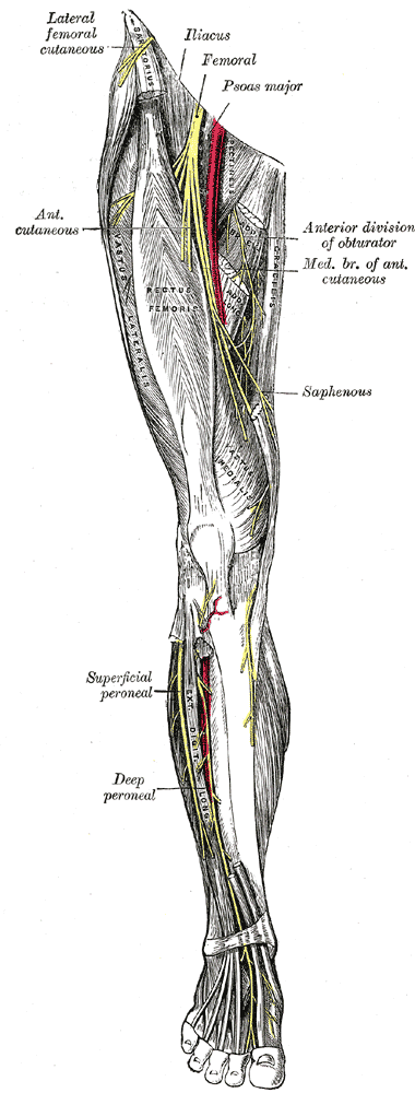 Femoral Nerve Wikidoc