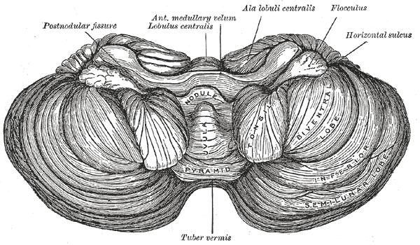 Cerebellar Vermis