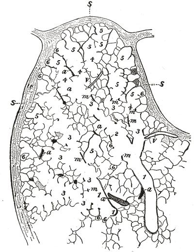 Alveolar Duct