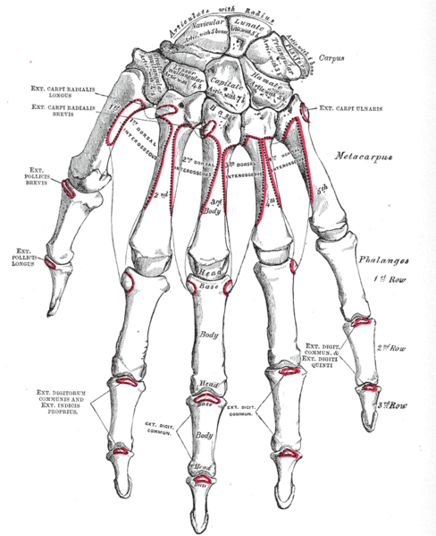 trapezium  bone