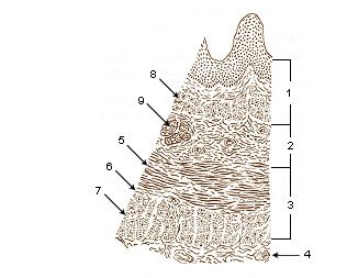 Illu esophageal layers.jpg