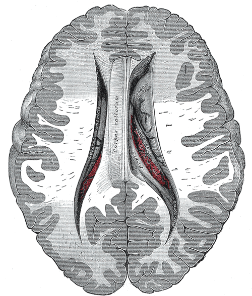 brain sex differences corpus callosum location in Regina