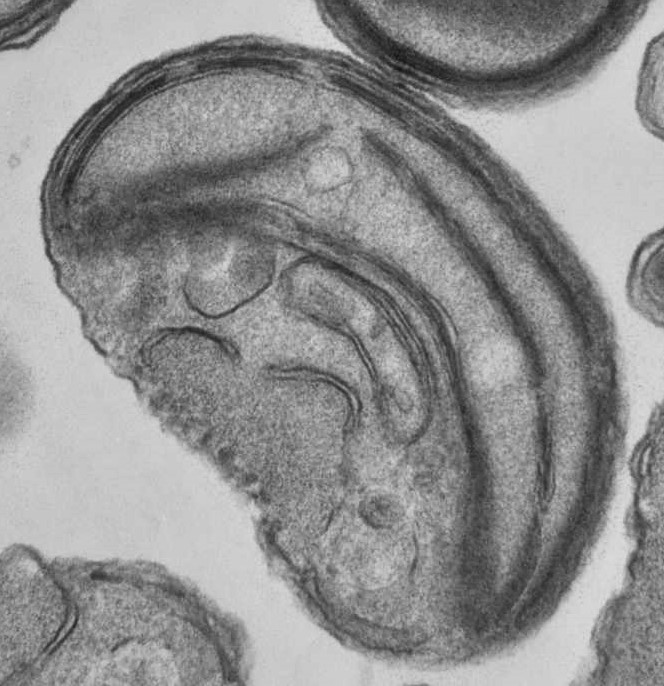 Ostreococcus is the smallest known free living eukaryote with an average size of 0.8 µm.