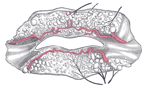 Mouth:Useful Notes on Mouth | Human Anatomy |External Lip Anatomy