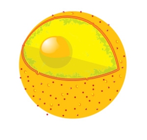 Diagram of a cell nucleus