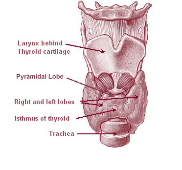 Illu08 thyroid.jpg