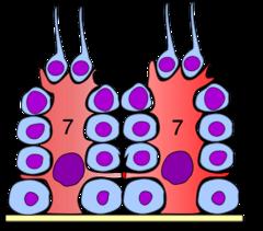 Germinal Epithelium