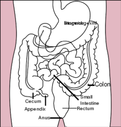Stomach colon rectum diagram.svg