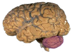 Cerebellum NIH.png