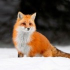 beautiful_fox, Russia