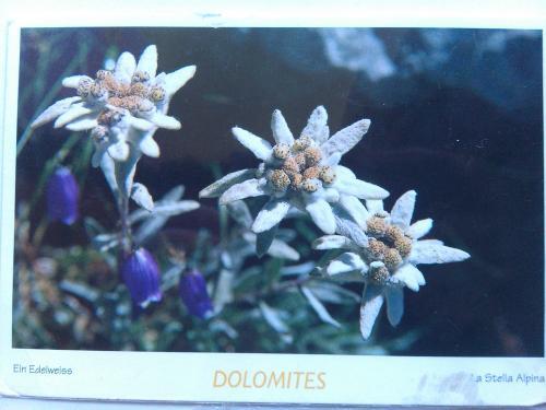 Картинка, эдельвейс открытки