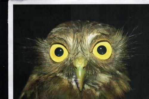 Postcard PH-16788: Philippine Hawk-Owl Beautiful big eyes