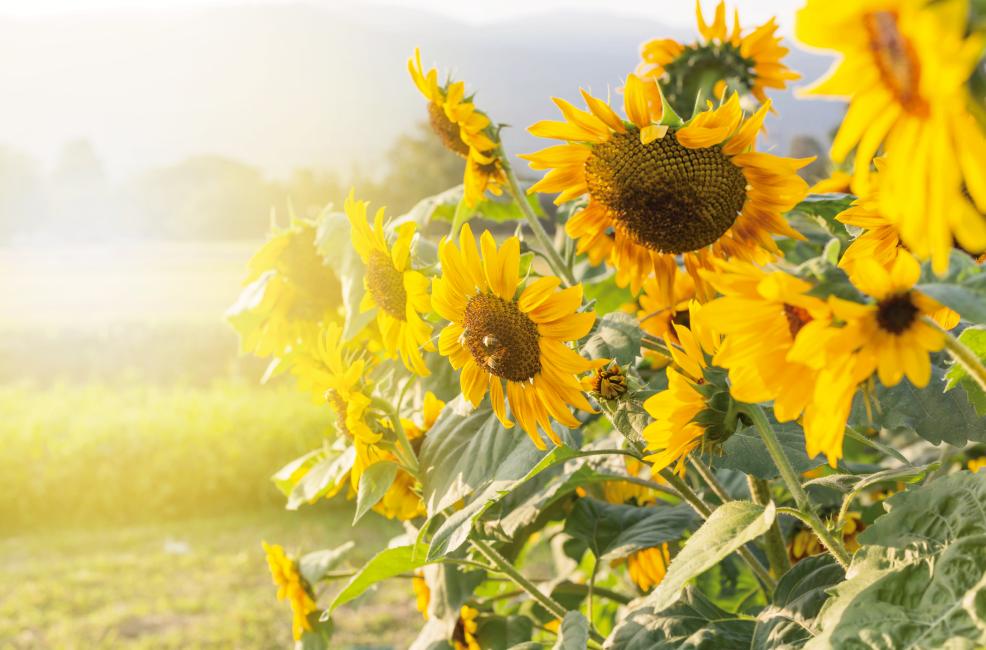 Noticia La hoja de Girasol como herbicida articulo especializado