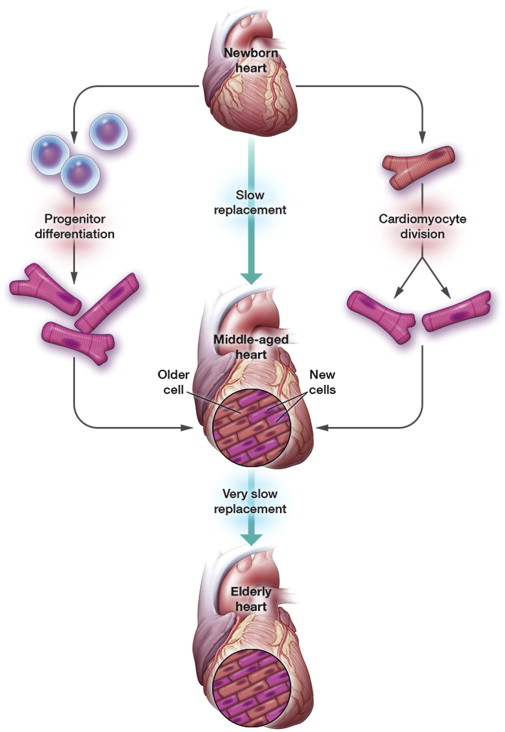 heart disease stem cell therapy, heart stem cells, stem cells for heart, cardiovascular disease treatment, heart stem cell treatment,