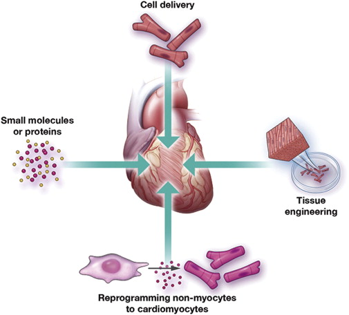 heart disease stem cell, stem cells for heart, cardiovascular disease treatment, stem cell treatment for heart, heart stem cells,