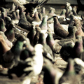 Crowded pidgeons