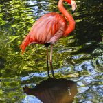 Free stock photo Side view of flamingo in lake