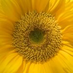 Free stock photo Close-up of sunflower pollen