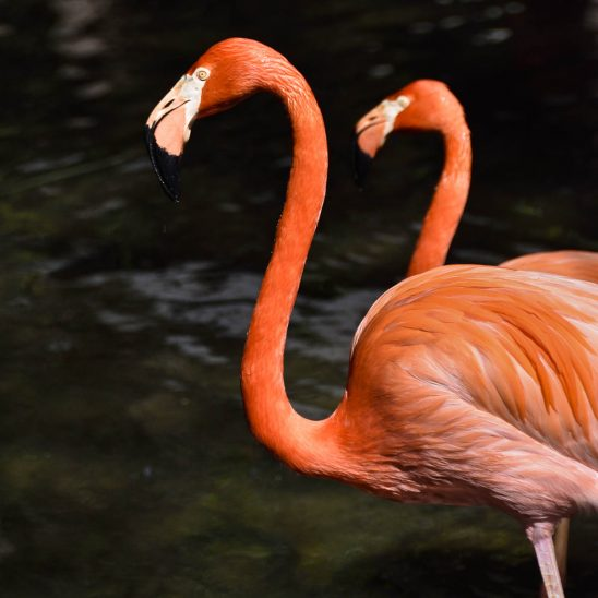 Free stock photo Side view of flamingos in lake