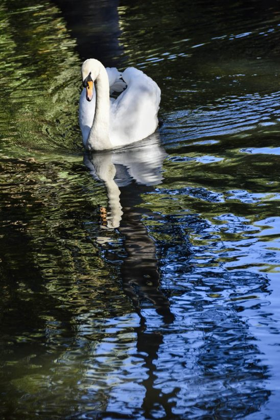 Free stock photo High angle view of swan swimming in lake
