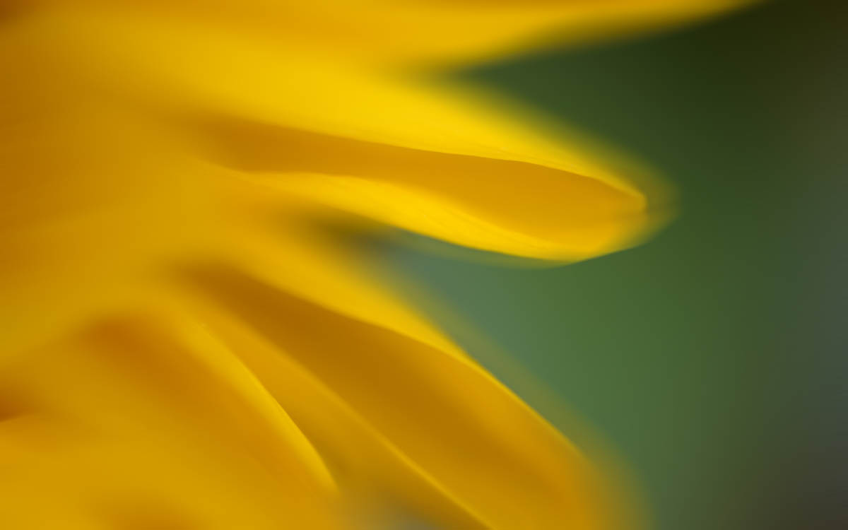 Free stock photo Defocused image of sunflower petals