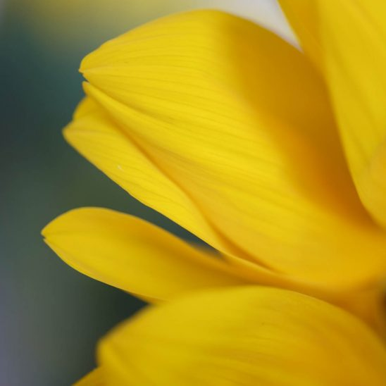 Free stock photo Close-up of sunflower petals