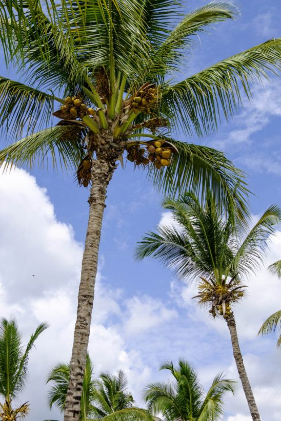 Free stock photo Low angle view of coconut palm trees against cloudy sky