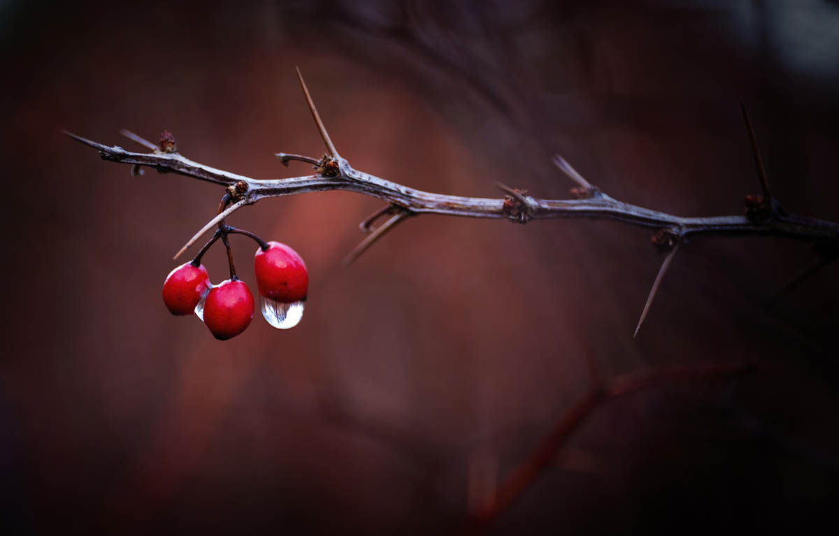 Free stock photo Close-up of water drops on red berries