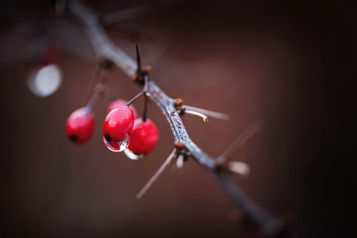 Free stock photo Close-up of wet red berries on branch