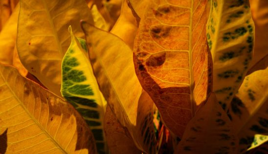 Free stock photo Panorama of colorful Croton leaves