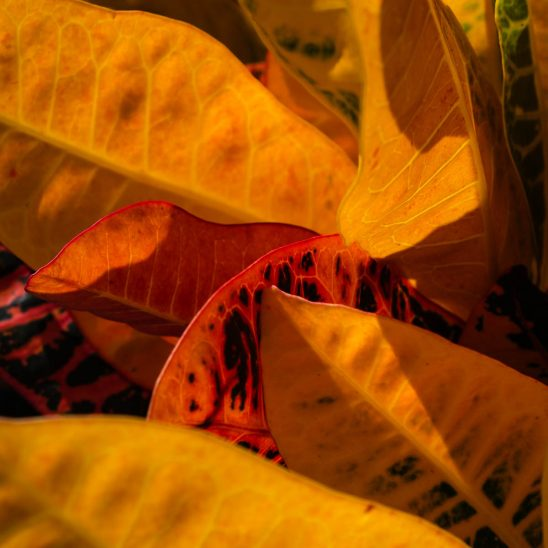 Free stock photo Close-up of Croton plant leaves