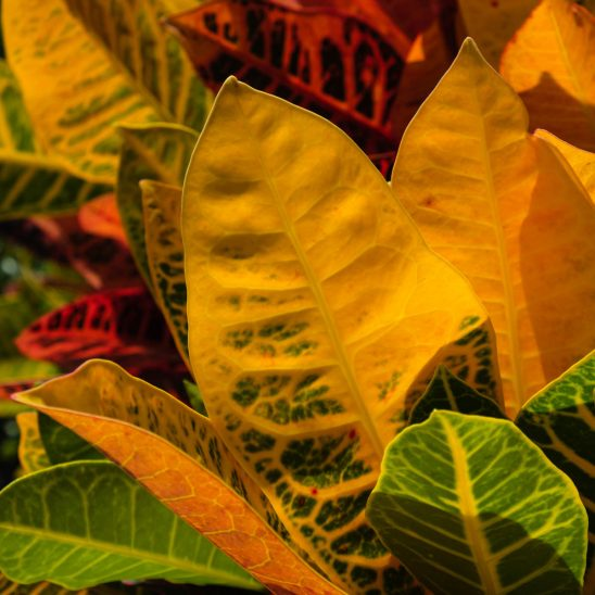 Free stock photo Close-up of Croton plant