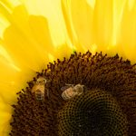 Free stock photo Close-up of honey bees on sunflower pollen