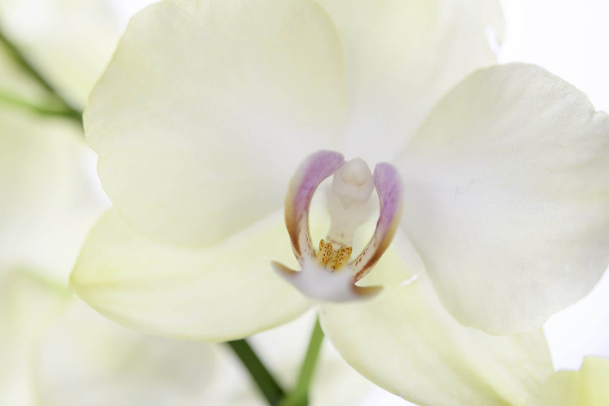 Free stock photo Close-up of white orchid
