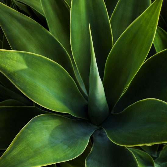Free stock photo Close-up of agave plant
