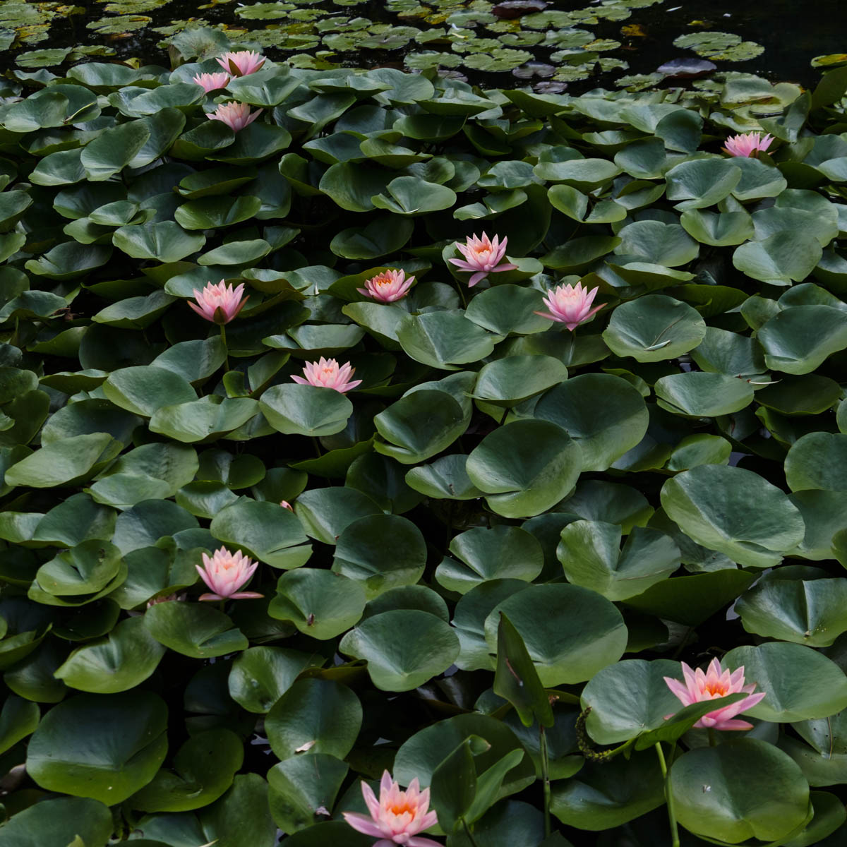 Free stock photo High angle view of water lilies and leaves floating on pond