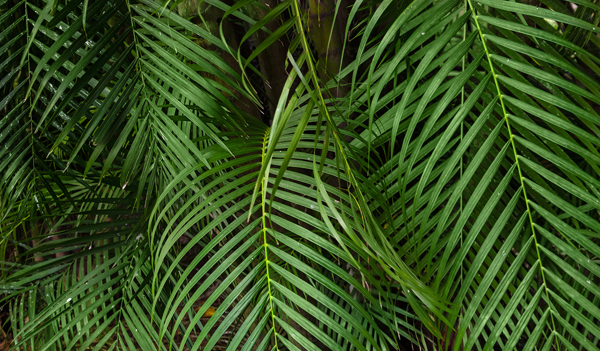 Lush Tropical Background Of Palm Leaves Stockfreedom Premium Stock Photography Choose from over a million free vectors, clipart graphics, vector art images, design templates, and illustrations created by artists worldwide! lush tropical background of palm leaves