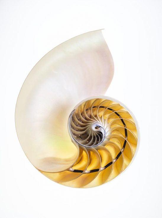 Free stock photo Interior of a nautilus shell