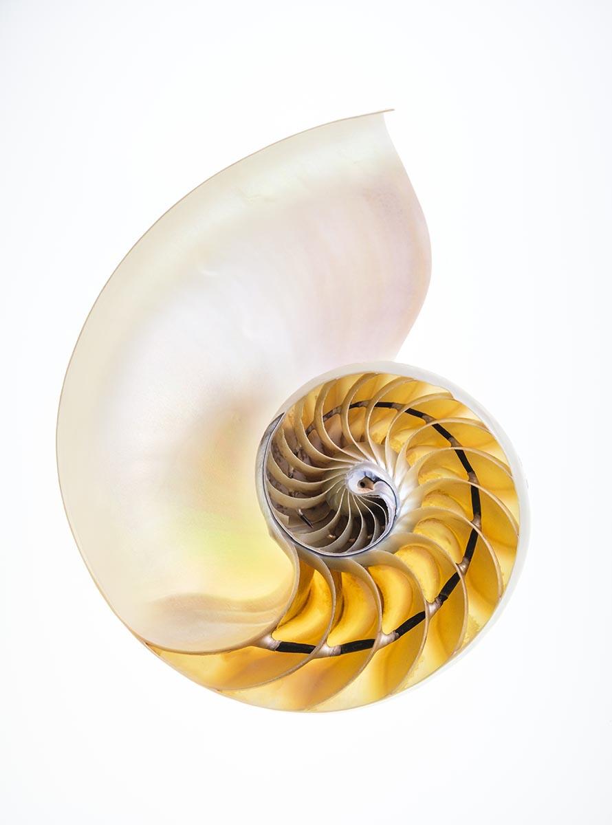 Free stock photo Interior of a nautilus shell