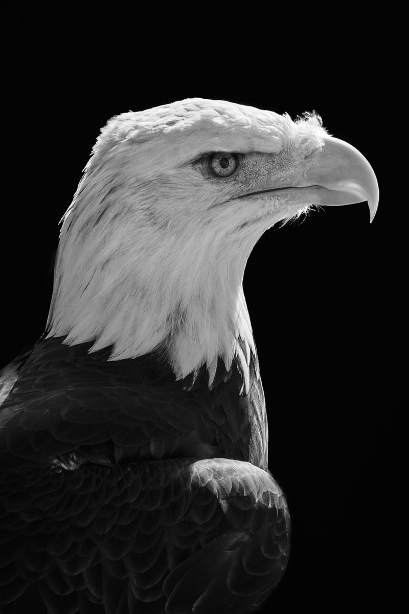 Free stock photo Close up portrait of a bald eagle