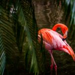 Free stock photo Flamingo preening in a pond among palm branches